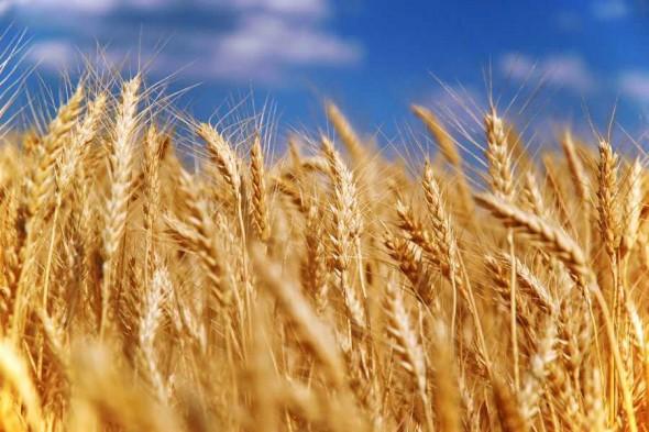 Немає жодних ризиків перевищити обумовлені об'єми граничних обсягів експорту зерна – Міністерство сільського господарства