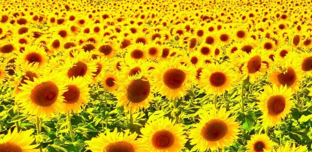 Мінекономіки і «Укроліяпром» погодили граничний обсяг експорту соняшникової олії на 2020/21 МР ні рівні 5 380 тис. тонн.